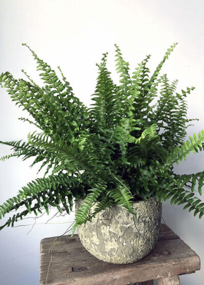 Air Purifying Fern