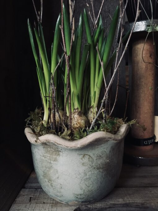 Pie crust pot filled with blue grape hyacinths